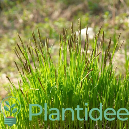 Plantidee - planten - Carex acuta
