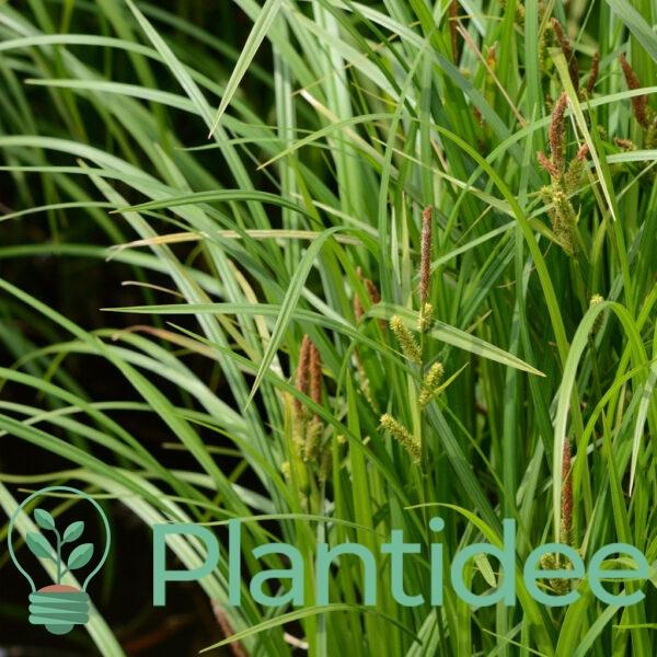 Plantidee - planten - Carex acutiformis