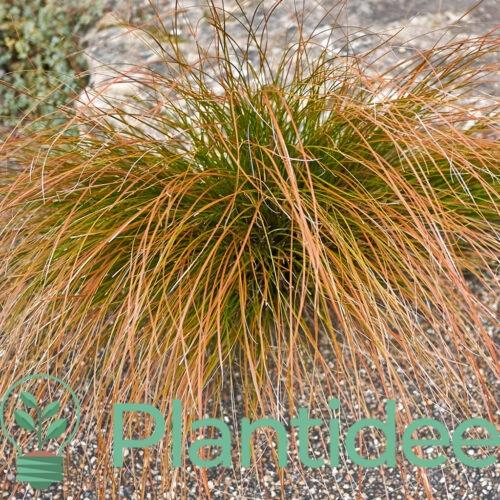 Plantidee - planten - Carex buchananii