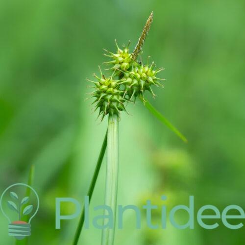 Plantidee - planten - Carex flava