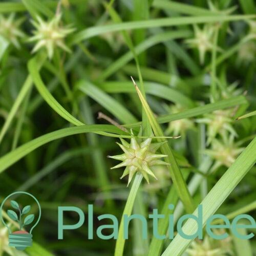 Plantidee - planten - Carex grayi