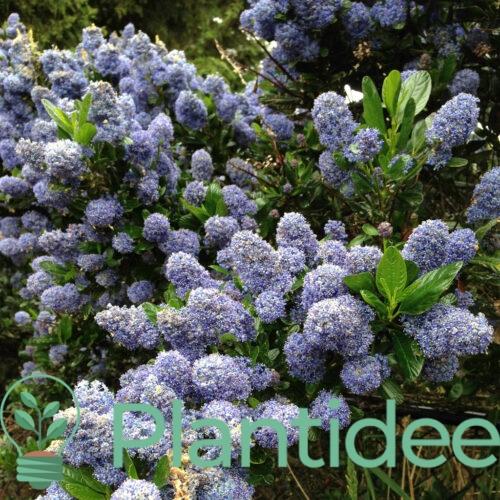Plantidee - planten - Ceanothus gloire de versailles