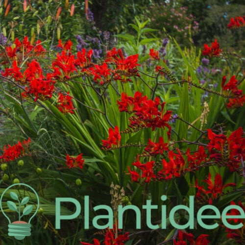 Plantidee - planten - Crocosmia emberglow