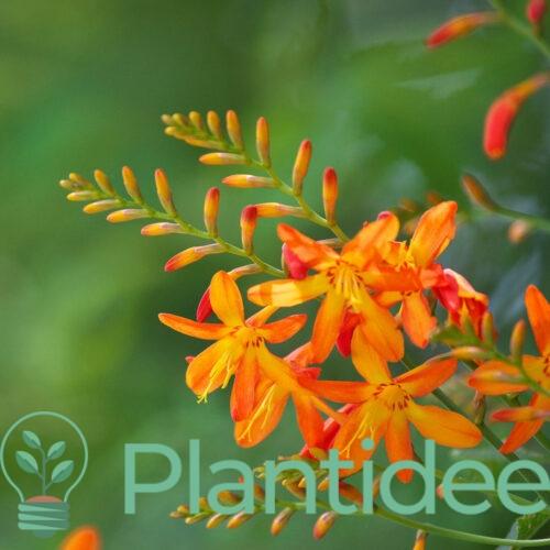 Plantidee - planten - Crocosmia emily mckenzie