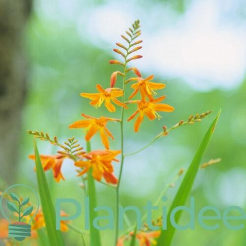 Plantidee - planten - Crocosmia george davidson