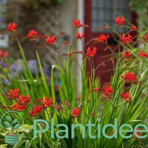 Plantidee - planten - Crocosmia lucifer