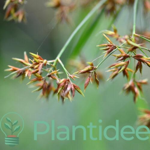 Plantidee - planten - Cyperus longus