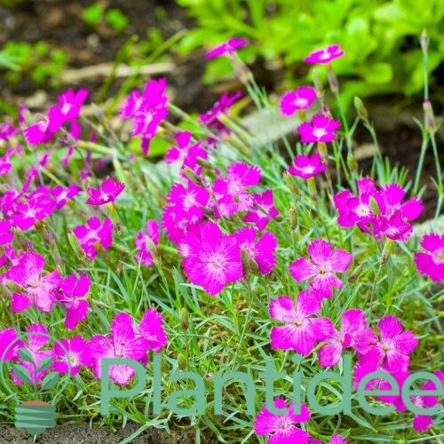 Plantidee - planten - Dianthus deltoides brilliant