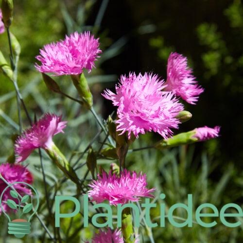 Plantidee - planten - Dianthus plumarius roseus plenus