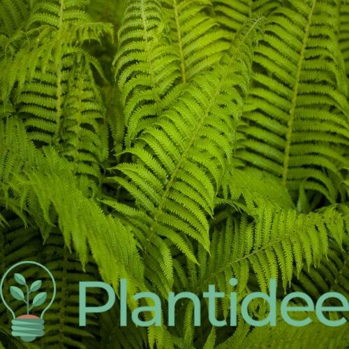 Plantidee - planten - Dryopteris cycadina atrata