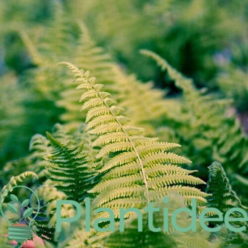 Plantidee - planten - Dryopteris erythrosora