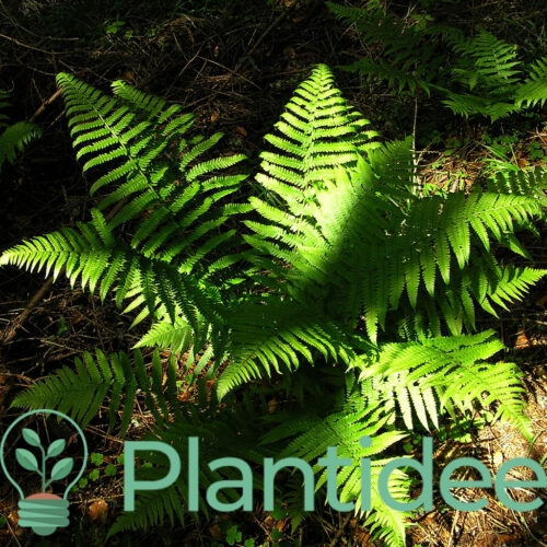 Plantidee - planten - Dryopteris filix-mas