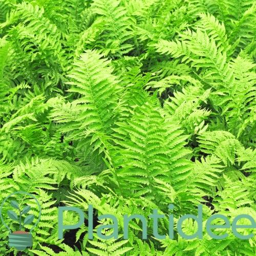 Plantidee - planten - Dryopteris marginalis