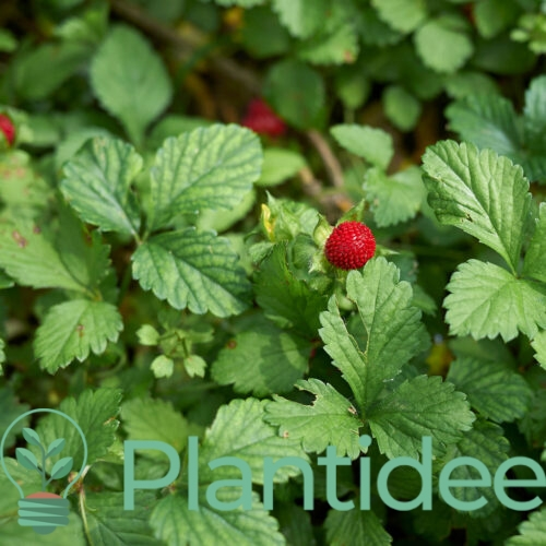 Plantidee - planten - Duchesnea indica