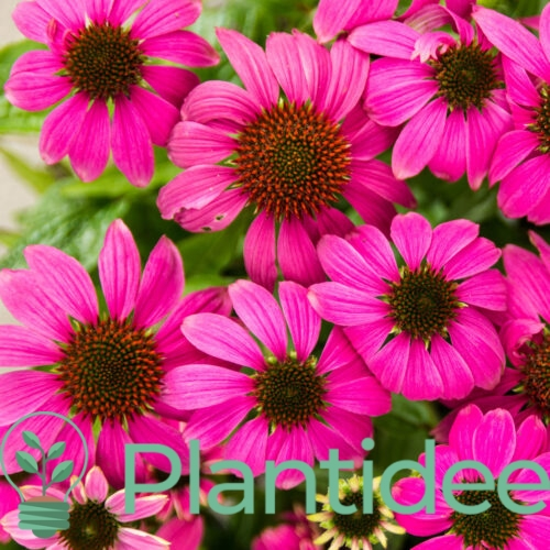Plantidee - planten - Echinacea sunseekers purple