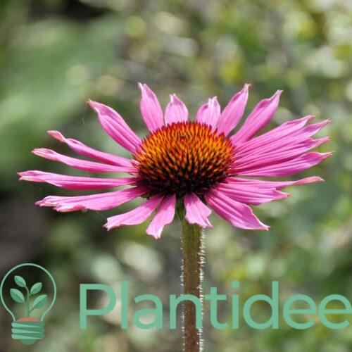 Plantidee - planten - Echinacea tennesseensis rocky top