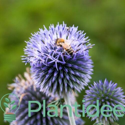 Plantidee - planten - Echinops ritro ruthenicus platinum blue