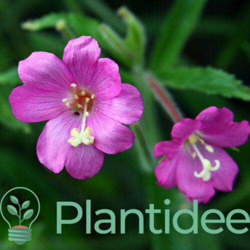 Plantidee - planten - Epilobium hirsutum
