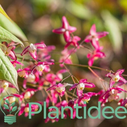 Plantidee - planten - Epimedium grandiflorum rose queen