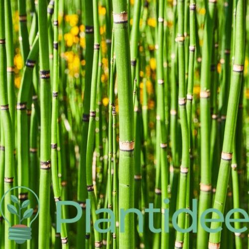 Plantidee - planten - Equisetum hyemale