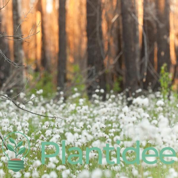 Plantidee - planten - Eriophorum angustifolium