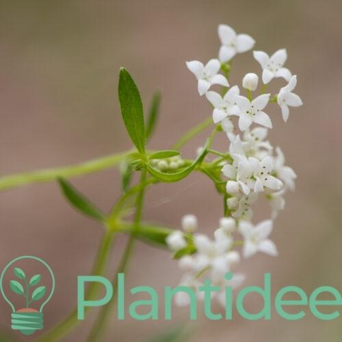 Plantidee - planten - Galium palustre