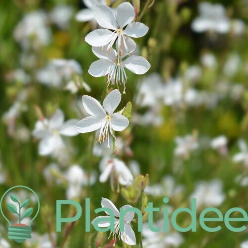 Plantidee - planten - Gaura lindheimeri cool breeze