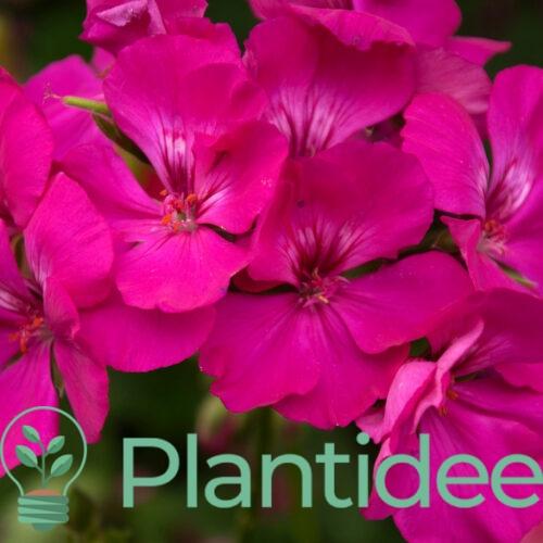 Plantidee - planten - Geranium cantabrigiense crystal rose