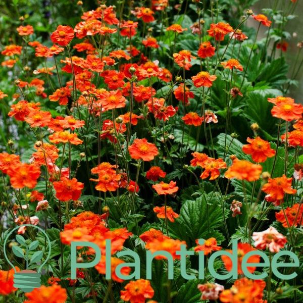 Plantidee - planten - Geum coccineum koi