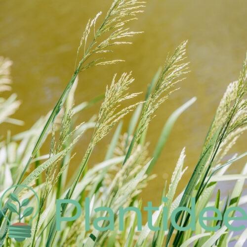 Plantidee - planten - Glyceria maxima
