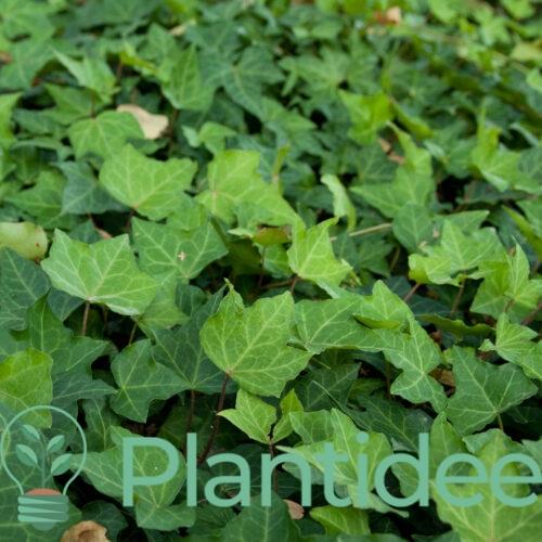 Plantidee - planten - Hedera helix