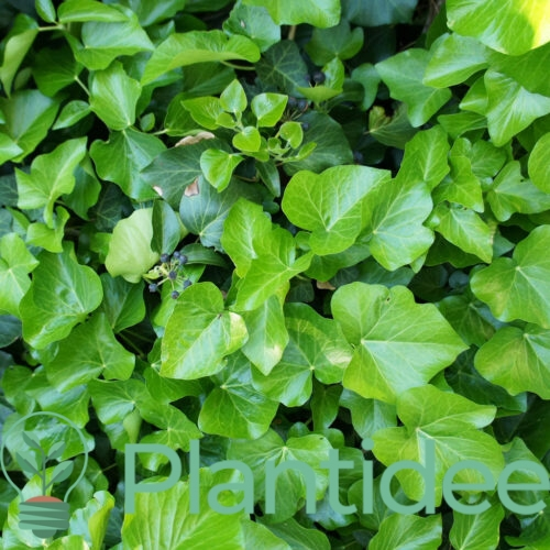 Plantidee - planten - Hedera hibernica 600