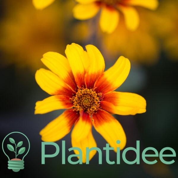Plantidee - planten - Heliopsis helianthoides scabra burning hearts