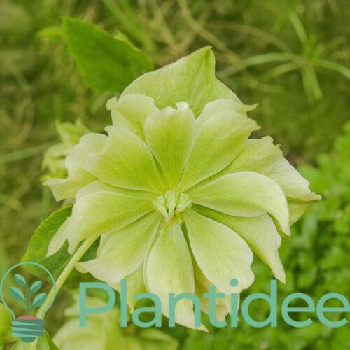Plantidee - planten - Helleborus orientalis double ellen green