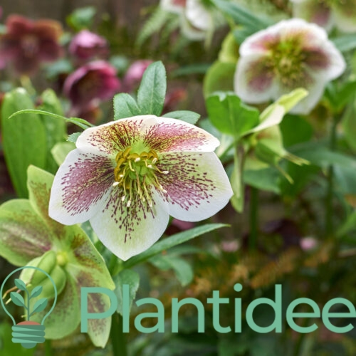 Plantidee - planten - Helleborus orientalis double ellen picotee