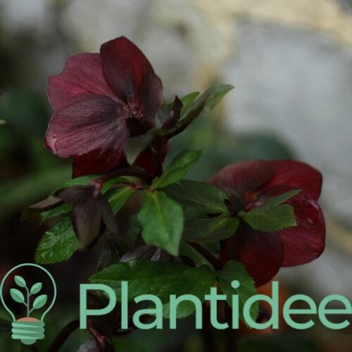 Plantidee - planten - Helleborus orientalis double ellen red