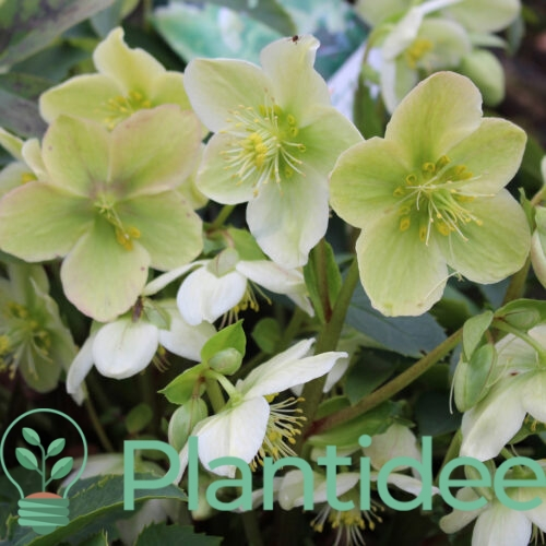 Plantidee - planten - Helleborus orientalis pretty ellen white