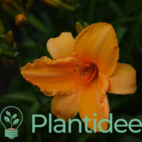 Plantidee - planten - Hemerocallis croky