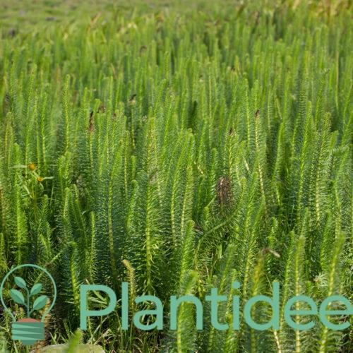 Plantidee - planten - Hippuris vulgaris