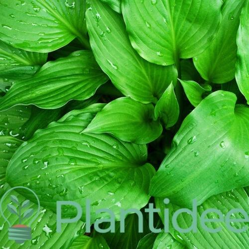 Plantidee - planten - Hosta birchwood parkys gold