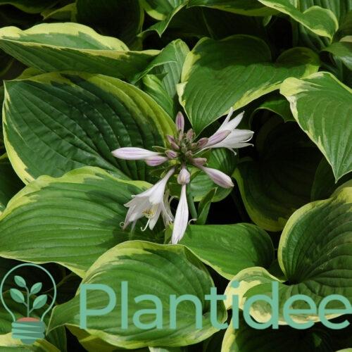Plantidee - planten - Hosta fortunei aureomarginata