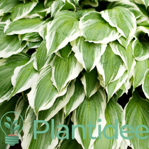 Plantidee - planten - Hosta fortunei francee