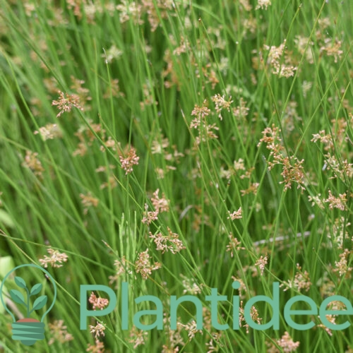 Plantidee - planten - Juncus effusus