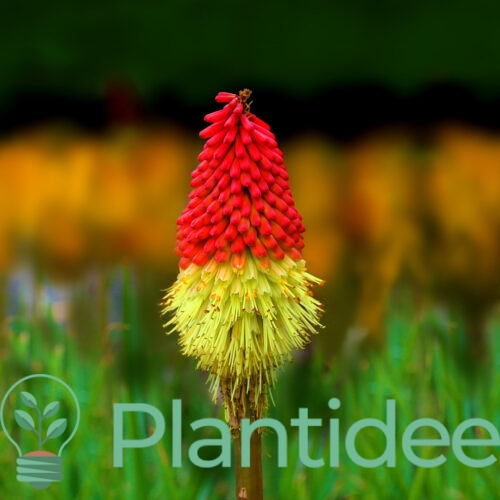 Plantidee - planten - Kniphofia uvaria firedance