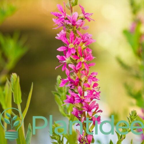 Plantidee - planten - Lythrum virgatum dropmore purple