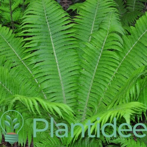 Plantidee - planten - Matteuccia struthiopteris