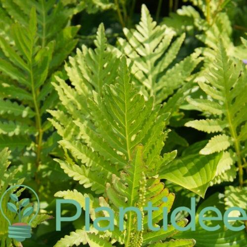 Plantidee - planten - Onoclea sensibilis