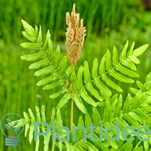 Plantidee - planten - Osmunda regalis