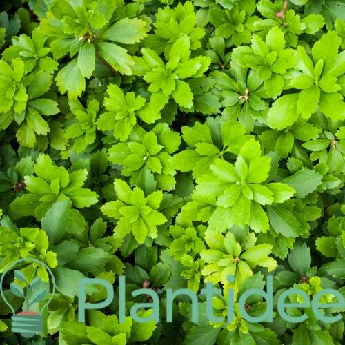 Plantidee - planten - Pachysandra terminalis green carpet