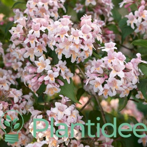 Plantidee - planten - Abelia grandiflora